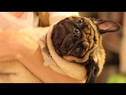 Proof Pugs Are The Most Majestic Dogs Youtube Pug Puppies