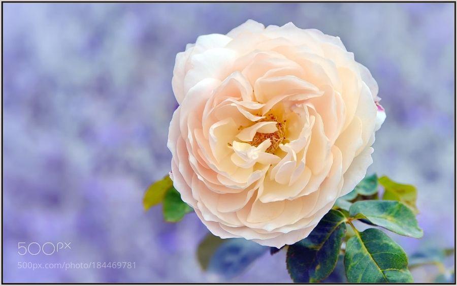 Peachy Autumn Blossom by tdlucas5000