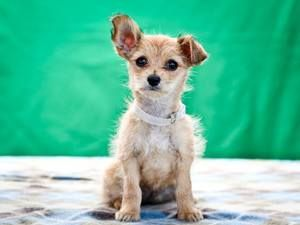Tidibit Norfolk Terrier Chihuahua Mix Cute Animals Norfolk