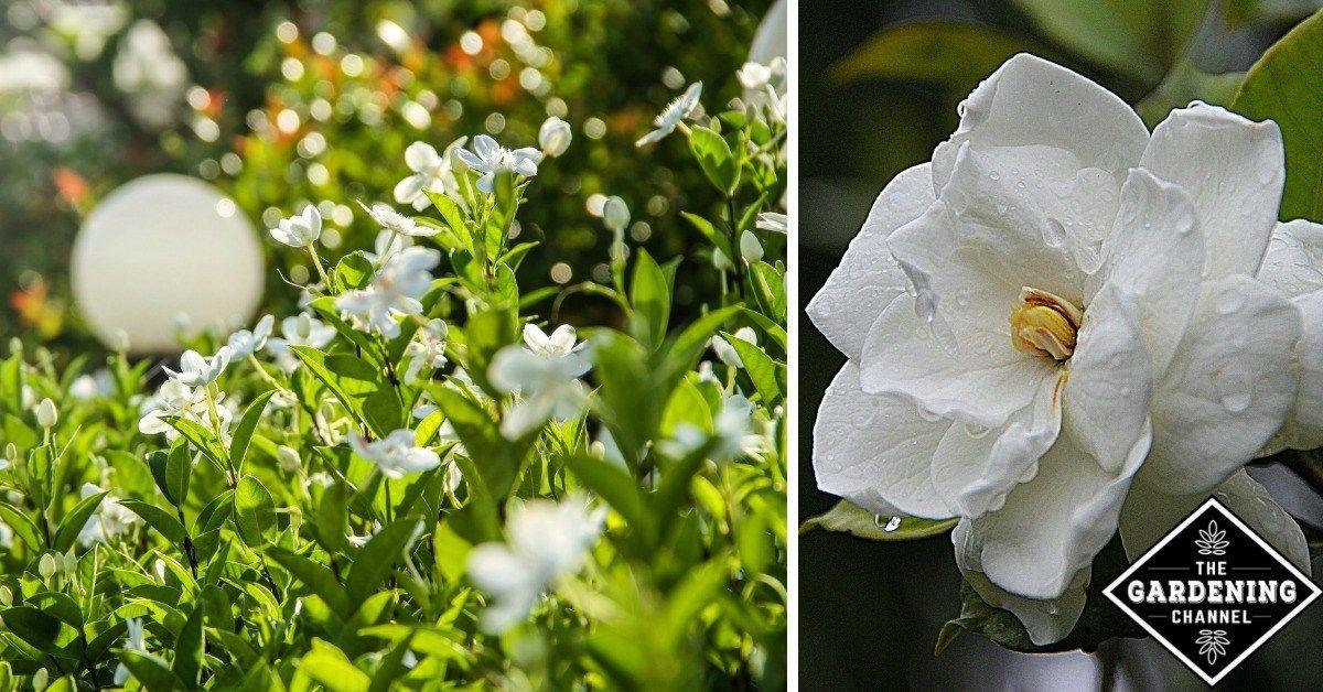 How To Grow Gardenia Flowers Gardening Channel Flower Garden Care Gardenia Plant Growing Gardenias