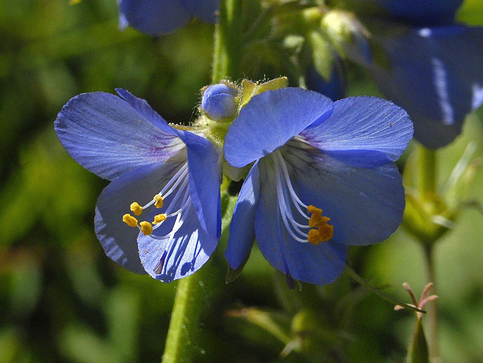 https://flic.kr/p/igRE2w   Polemoniaceae - Polemonium caeruleum-001