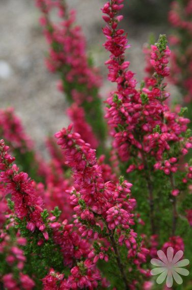 Heather Dark Beauty Calluna Vulgaris Evergreen Shrub With Raspberry Pink Flowers From Mid Summer To Mid Fall Grows W Evergreen Shrubs Heather Flower Shrubs