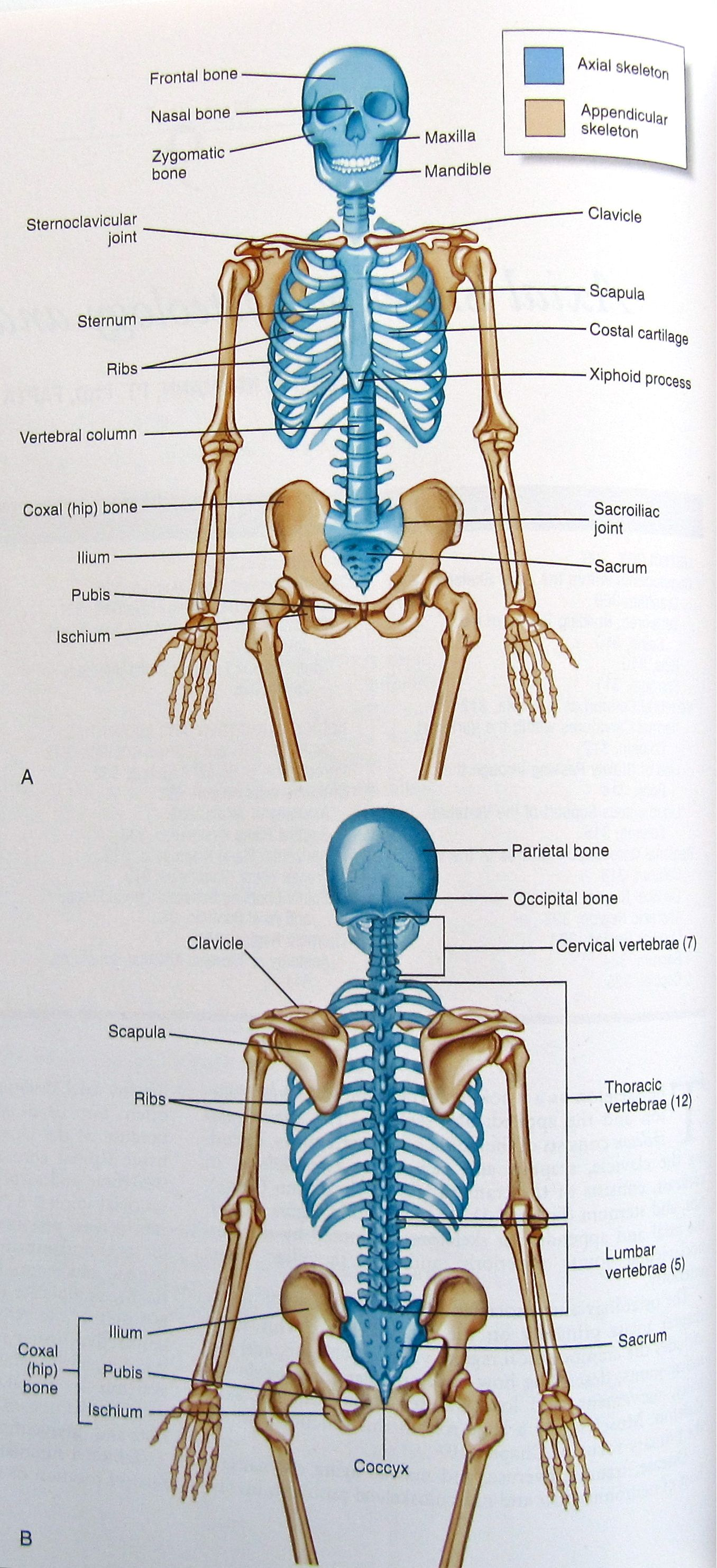 Axial And Appendicular Skeleton Ittcsles