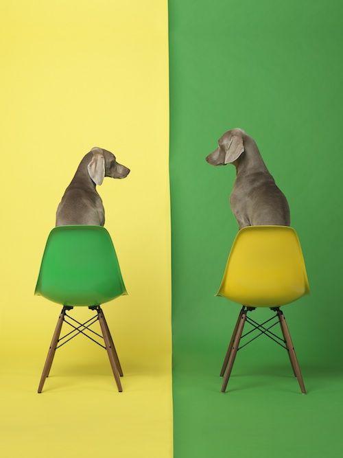 Palm Springs Fine Art Fair Celebrates William Wegman S Famous Weimaraner Dogs William Wegman Dog Art Color Photography