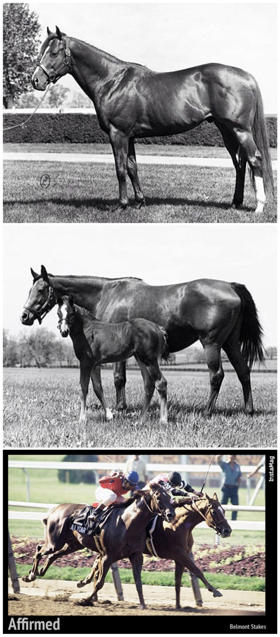 The 1978 Triple Crown winner Affirmed: His sire Exclusive Native ...