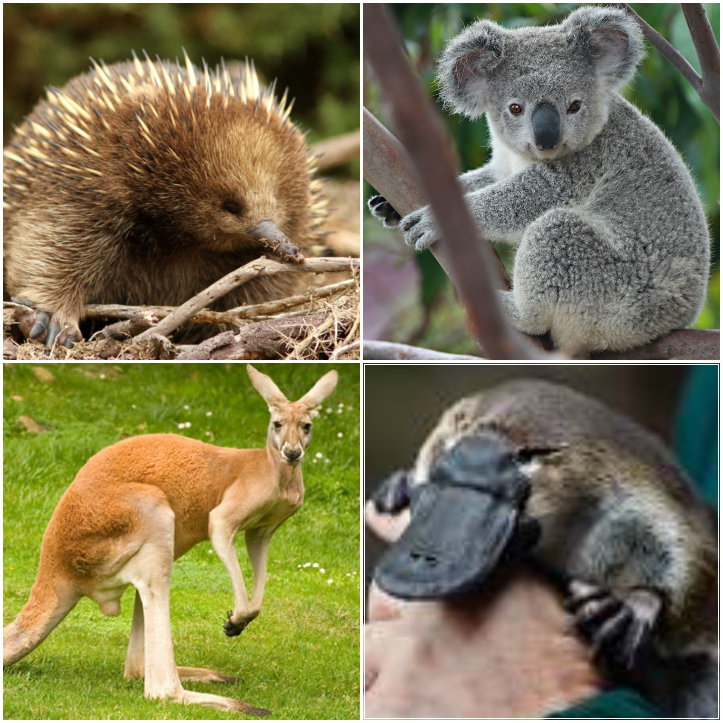 The most famous native animals in Australia are kangaroos