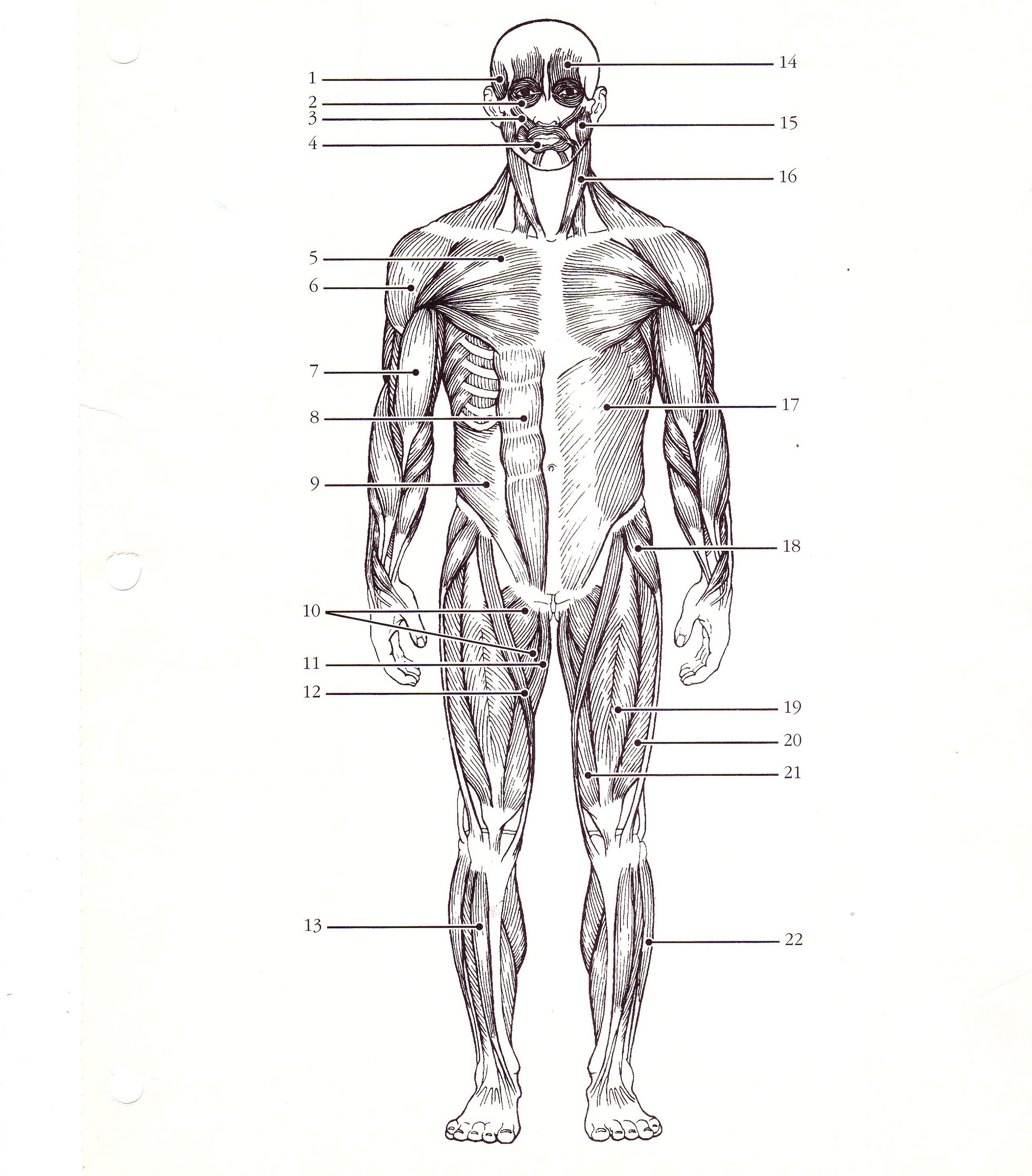 A Diagram Of The Muscular System Koibana Info Muscular System Labeled Muscular System Muscle Diagram