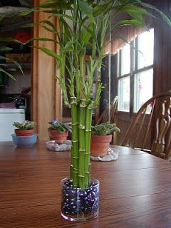 Lucky Bamboo 101 Lucky Bamboo House Plant Care Lucky Bamboo Plants