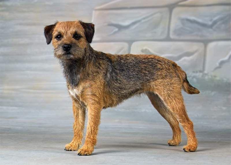 Border Terrier Yorkshire terrier, Border terrier welpen