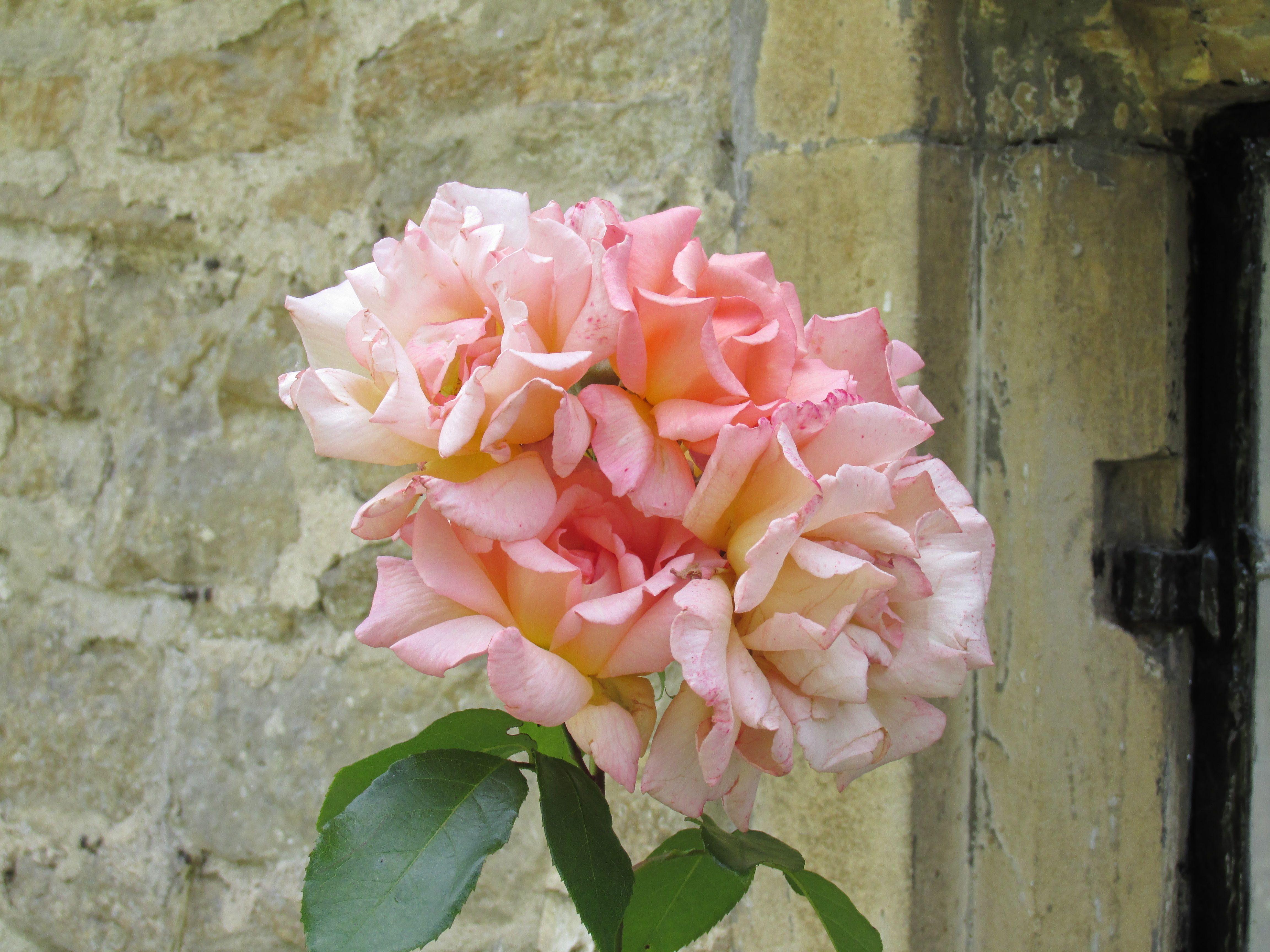 4 roses, Arlington Row