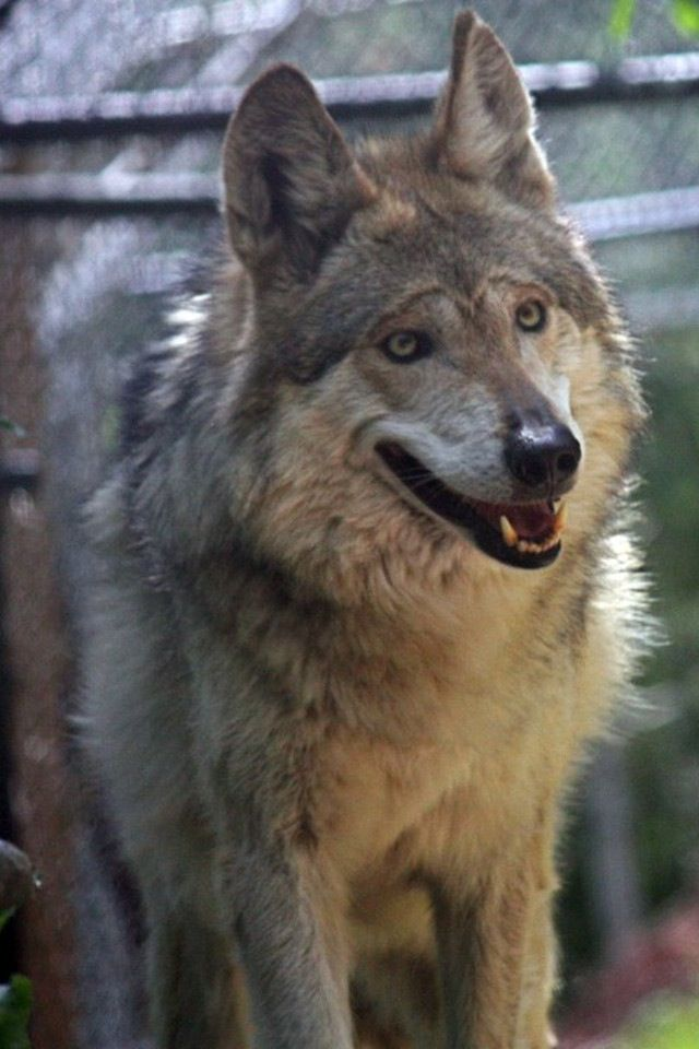 A wolf happy