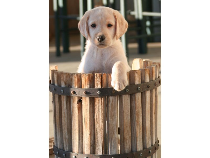Puppies for sale Labrador Retrievers, Labs, Labradors