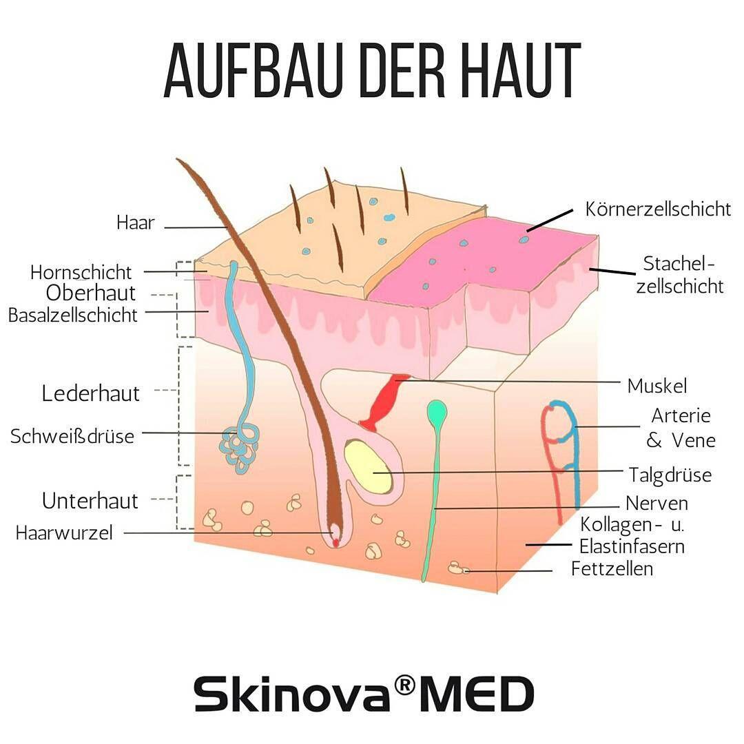 Die Anatomie unserer Haut Die Haut schützt unseren Körper vor ...