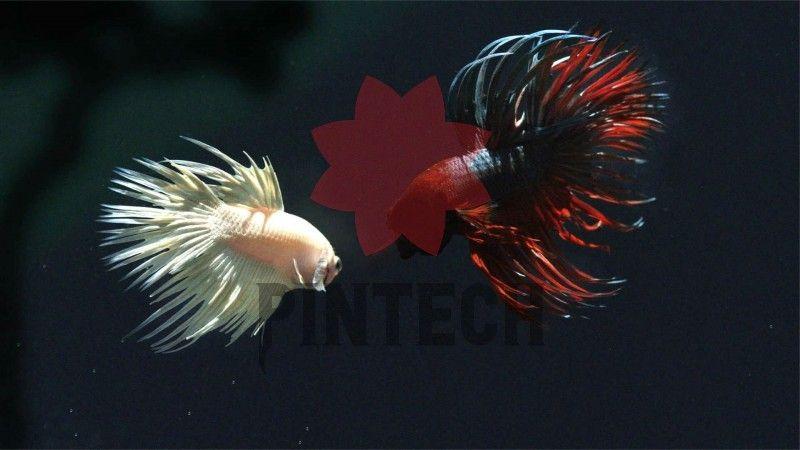5 Schonsten Betta Fisch In Der Welt Erstaunliche Tatsache Uber Betta Fisch Betta fish wallpaper gif cat with