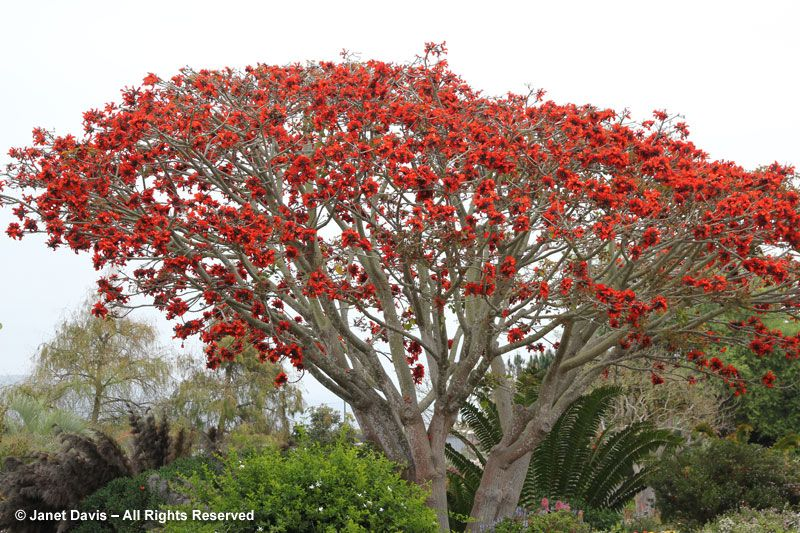 Erythrina Caffra Coral Tree Erythrina Caffra Seaside Garden Dream Garden