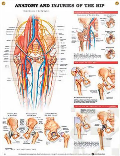 Anatomy And Injuries Of The Hip 20x26 Anatomy Muscles And Medical