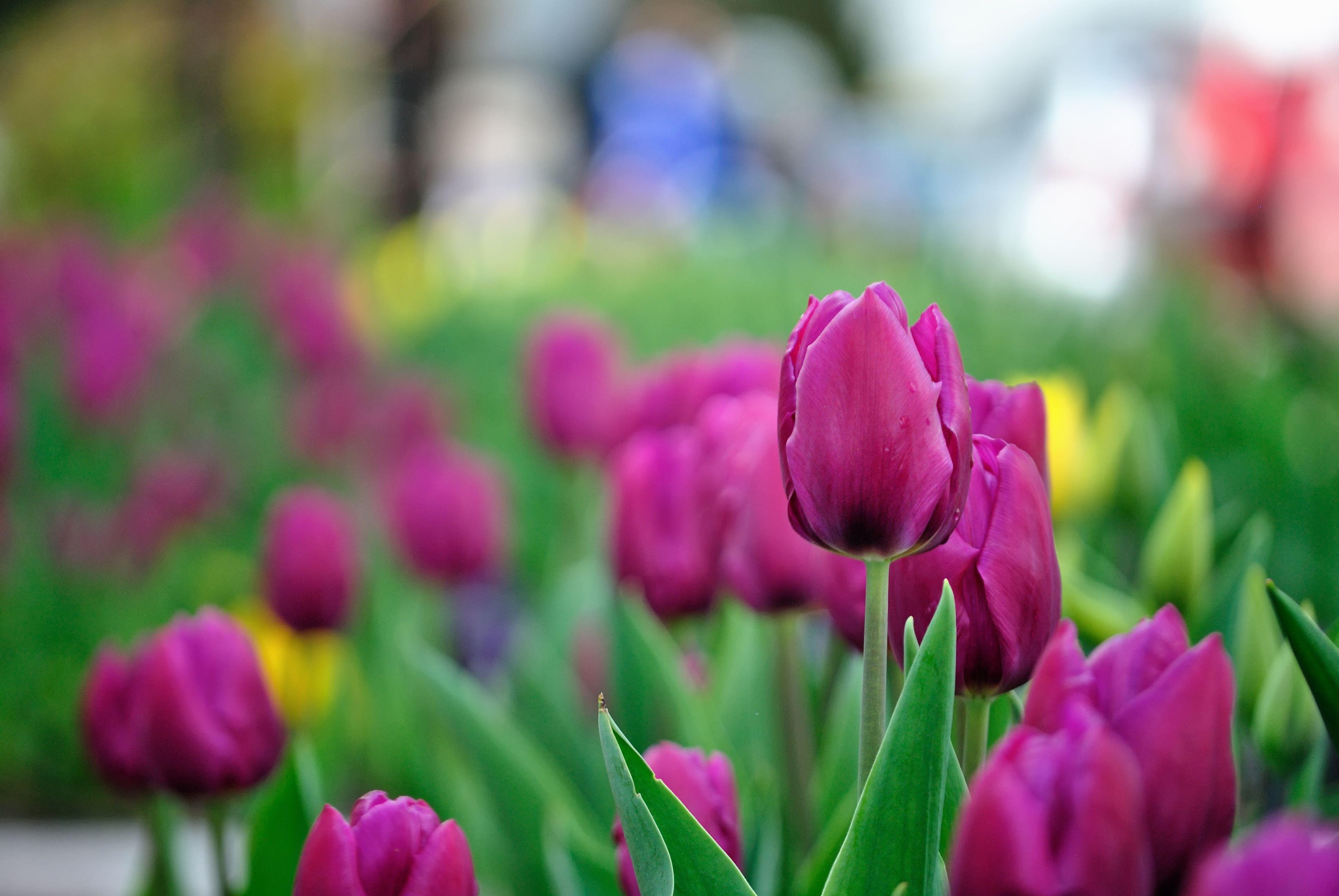 Dutch Tulips Dutch Tulips Photography