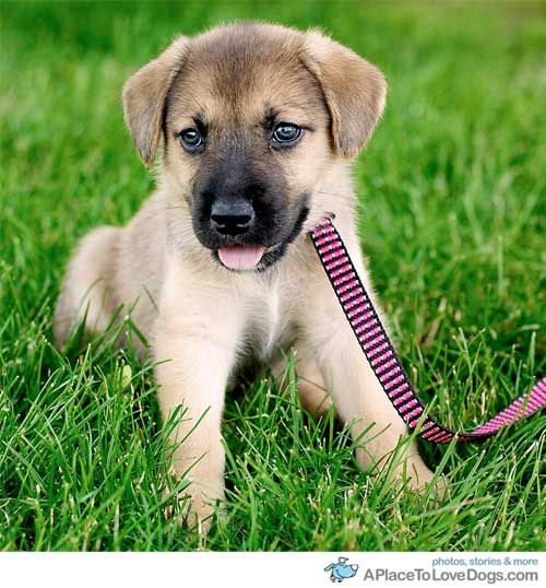 I M Getting A Beagle Husky The Day I Graduate College 3 Beagle