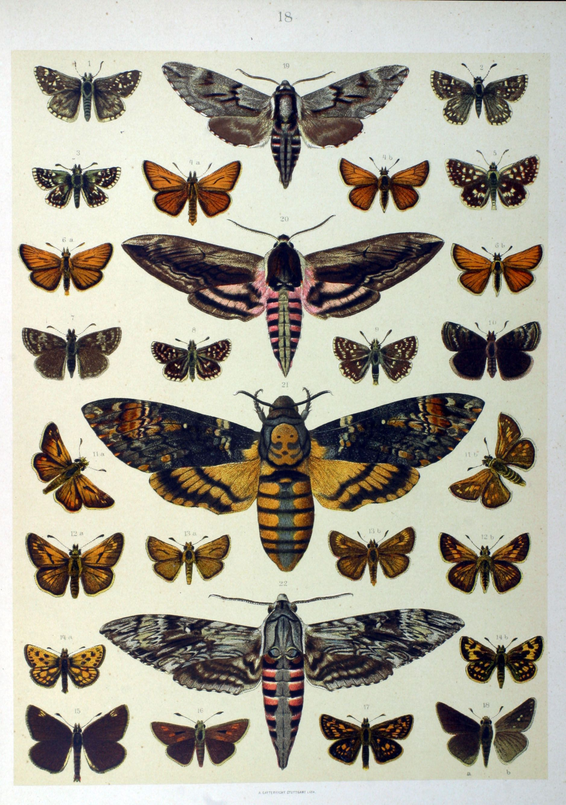 Acherontia atropos | Papillon | Pinterest | Tatuajes, Anatomía ...