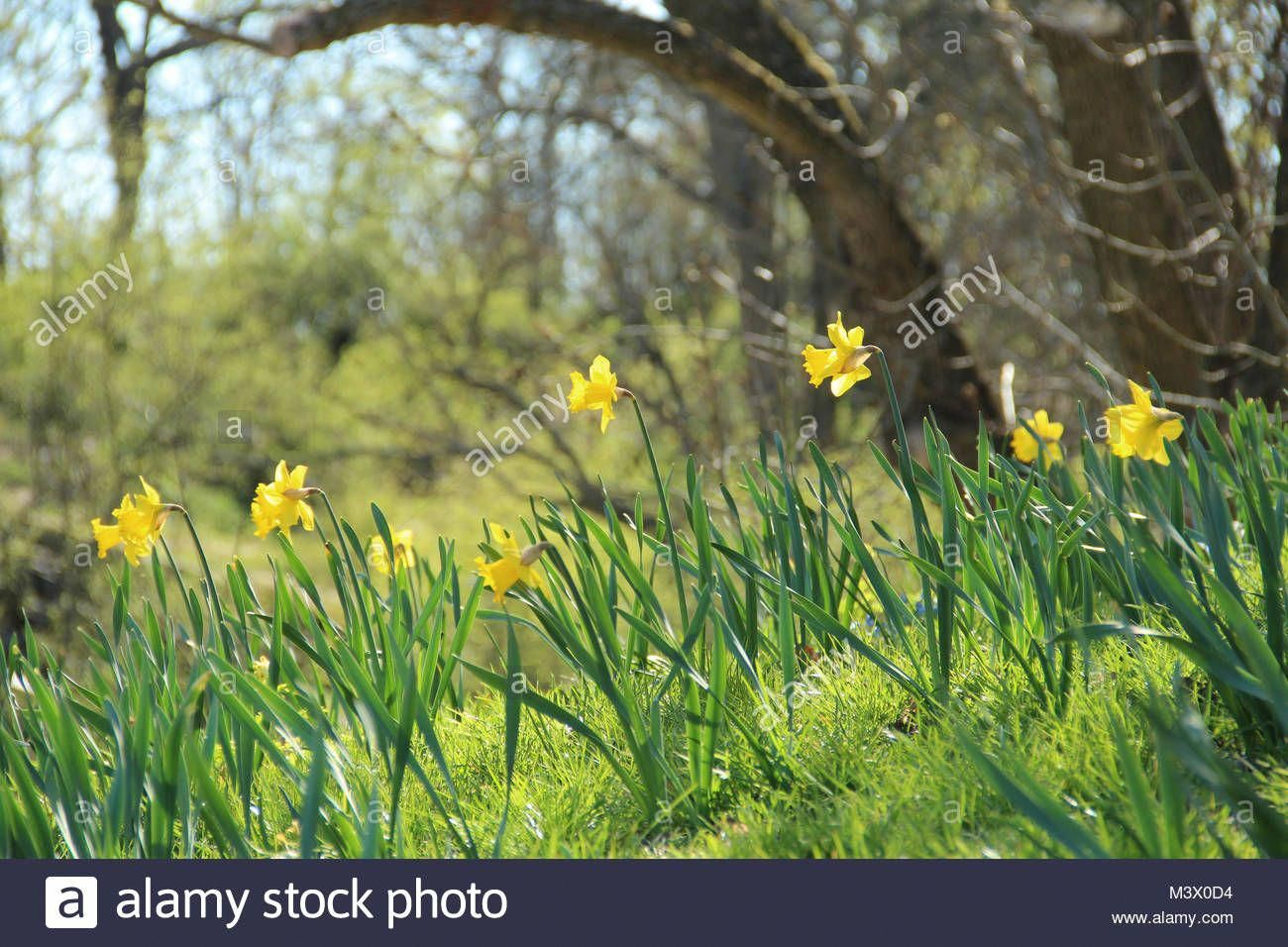 Download This Stock Image Spring Hill With Yellow Daffodils M3x0d4 From Alamy S Library Of Millions Of High Resolution With Images Yellow Daffodils Daffodils Landscape