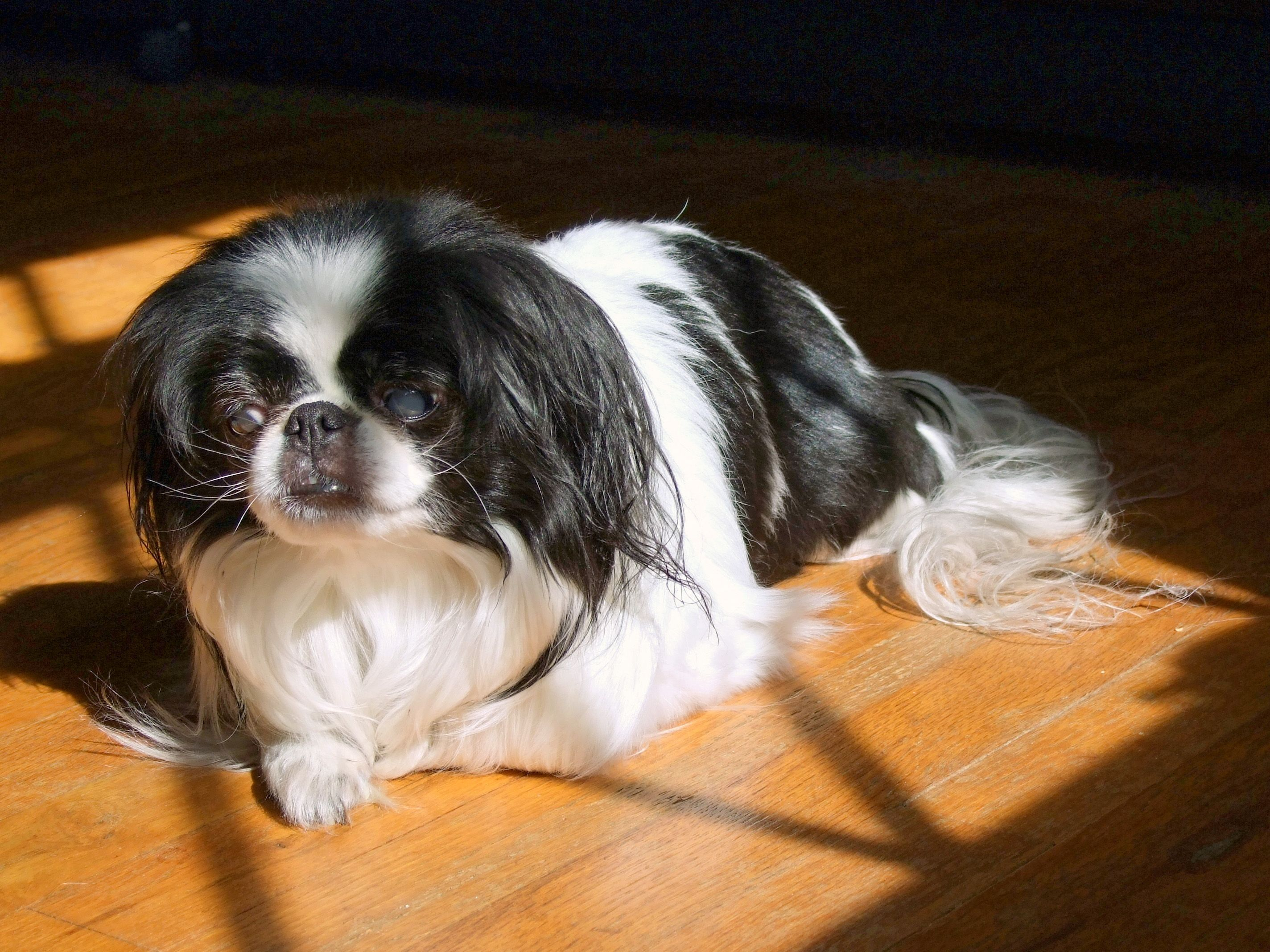 Katie Katsura Hime 10 24 97 1 27 13 Japanese Chin Cute Puppies Chin