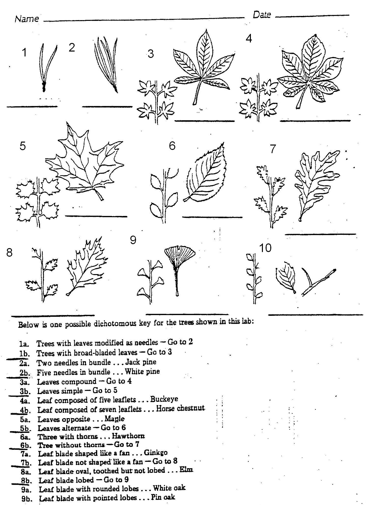 worksheet Parts Of A Leaf Worksheet plants 7 leaf tree id key review dichotomous keys activity activity