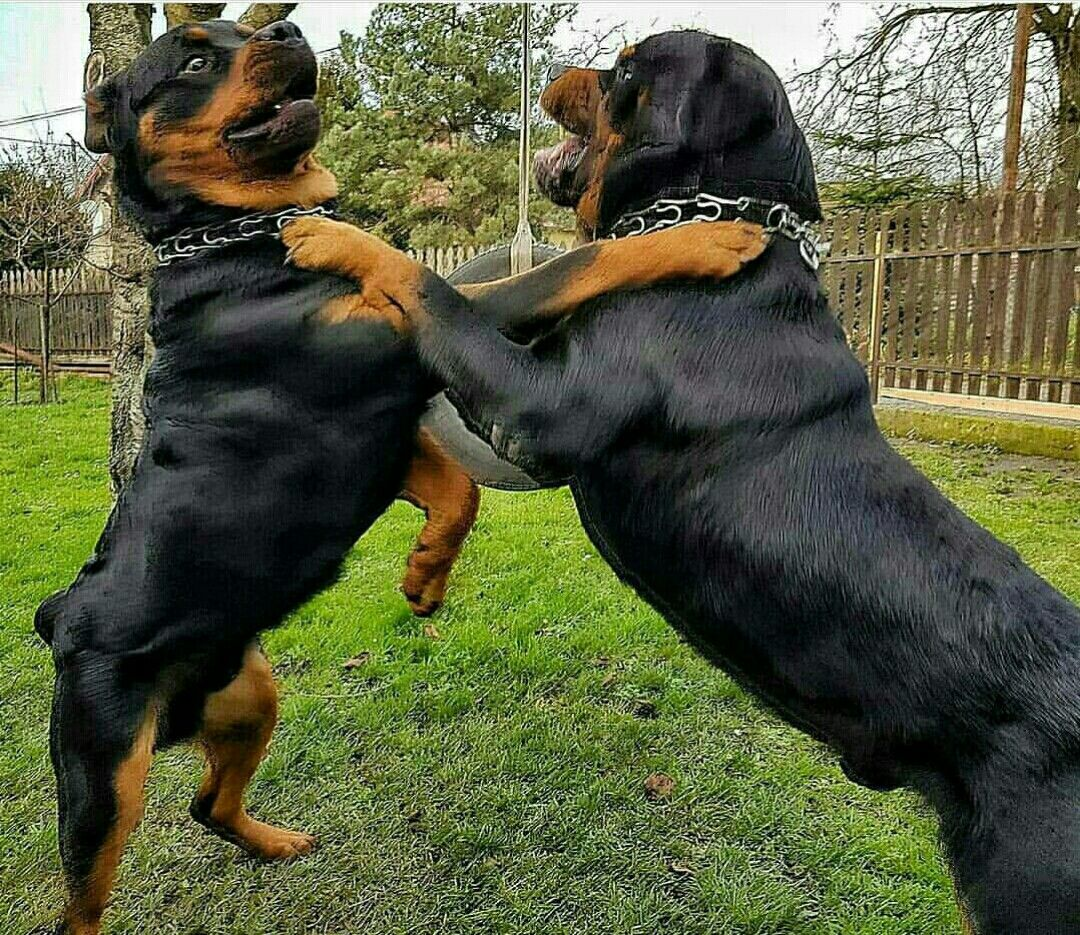 I Love When They Play Dogs Rottweiler Dog Rottweiler