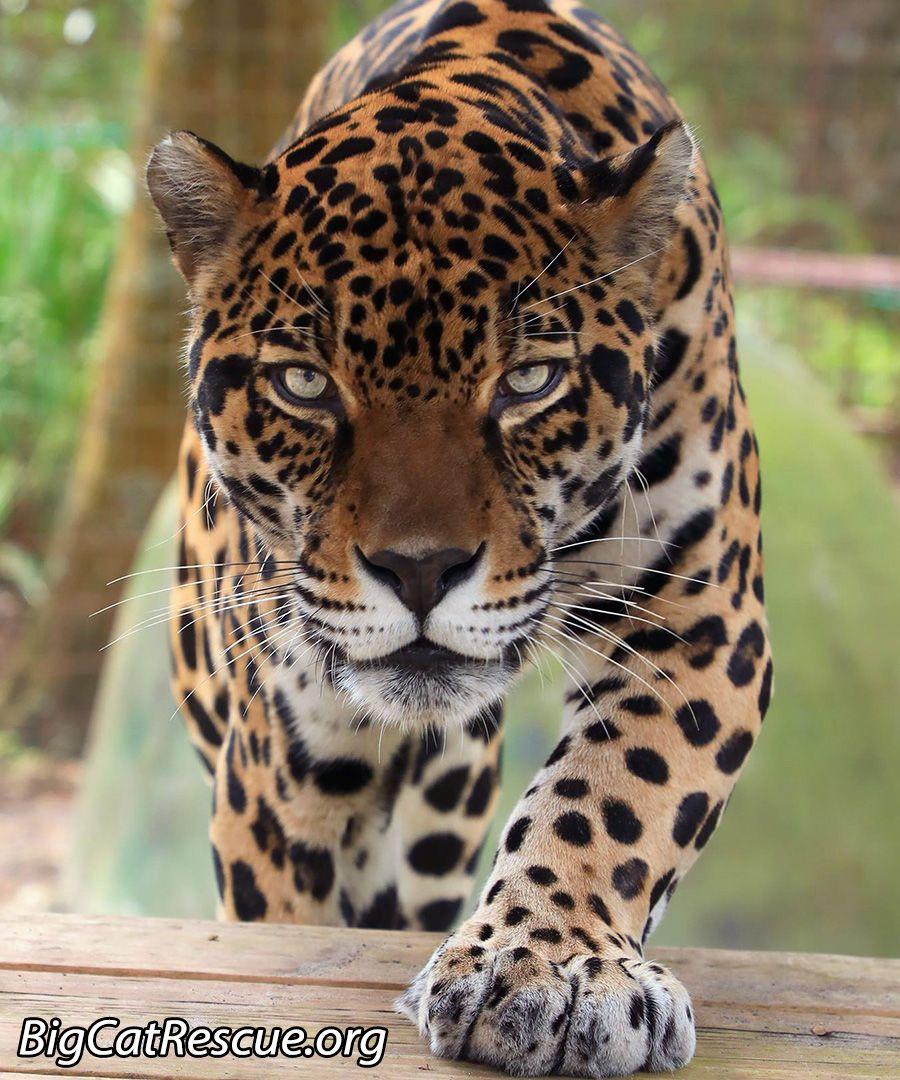 Manny Big Cats Big Cat Rescue Jaguar Animal