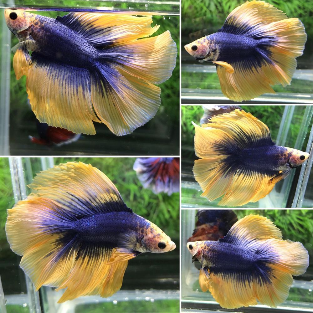 Live Betta Fish Male Yellow Blue Doubletail#DTLB156.USA only.Video ...