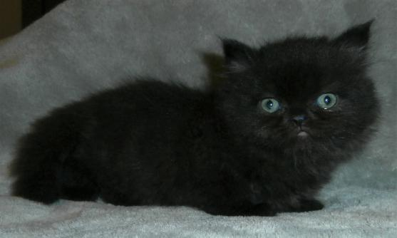 Persian And Himalayan Kittens For Sale St Louis Missouri