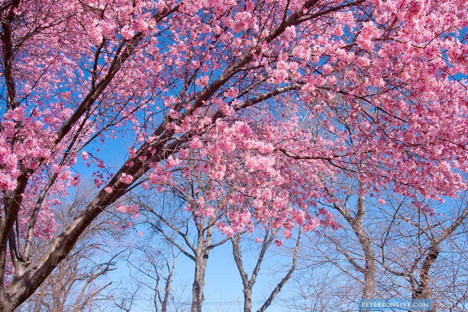 Petersonlive Com Cherry Blossom Images Brook Park Cherry Blossom