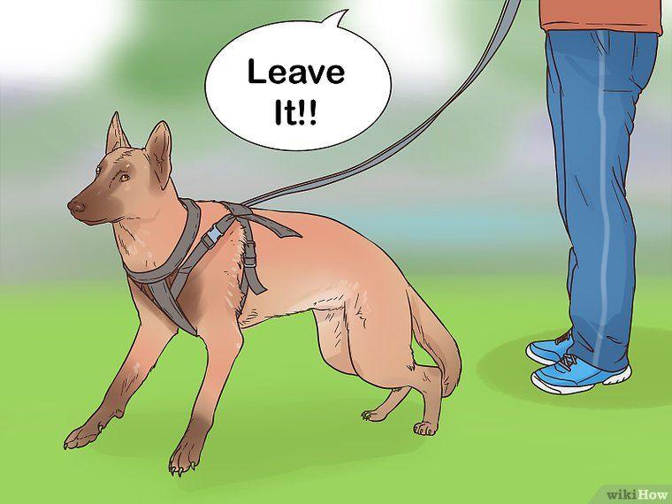 Train A Belgian Malinois Belgian Malinois Dog Training Herding