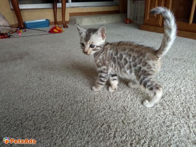 Beautiful Brown Spotted Bengal Boy Bengal Kitten Kitten Adoption Kitten