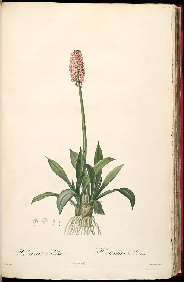 1802 - vol. 1 - Les liliacees - P J Redoute, Biodiversity Heritage Library