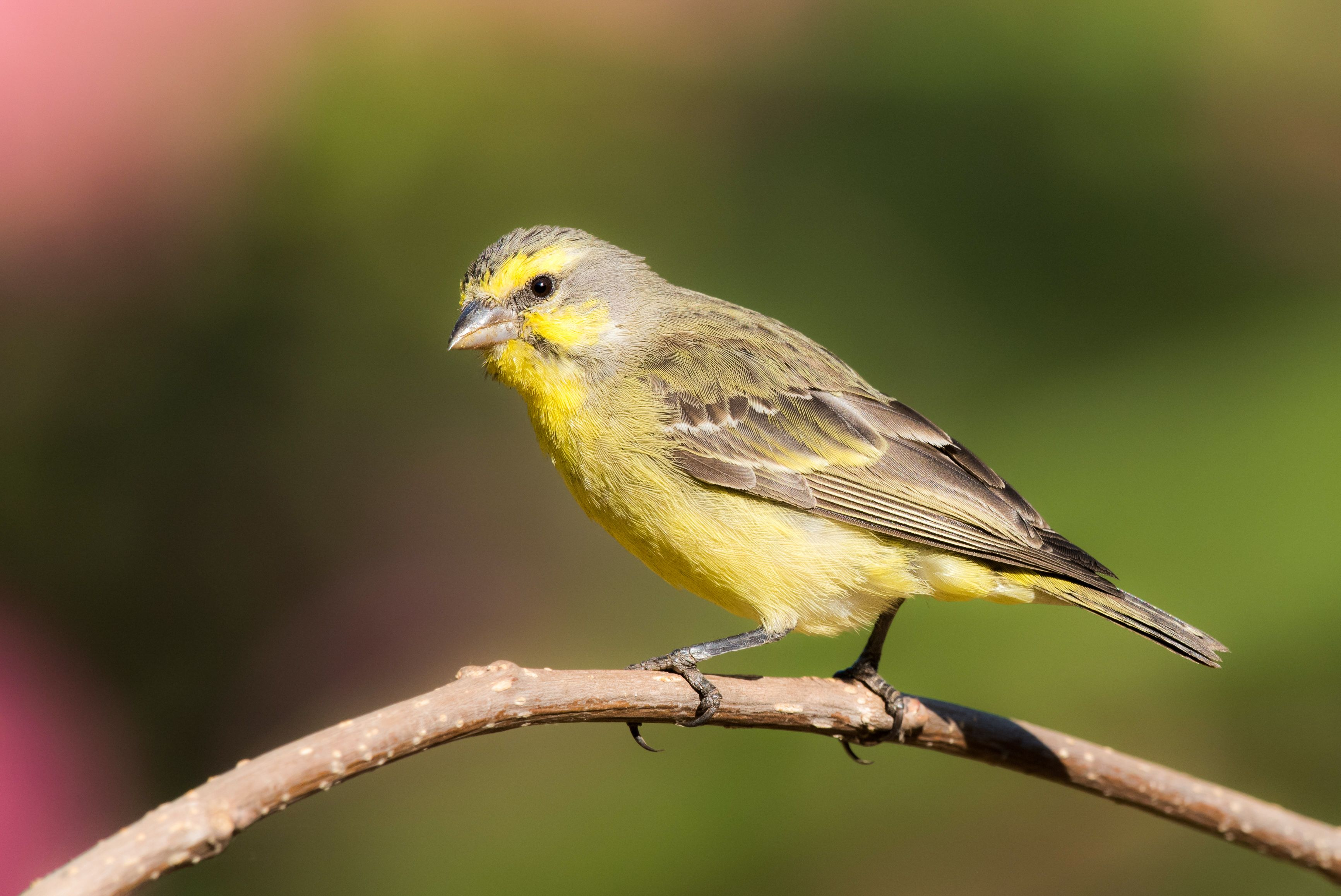 Green Singer Yellow Fronted Canary Available Now At Thefinchfarm Com Bird Island Pet Rodents Birds Online
