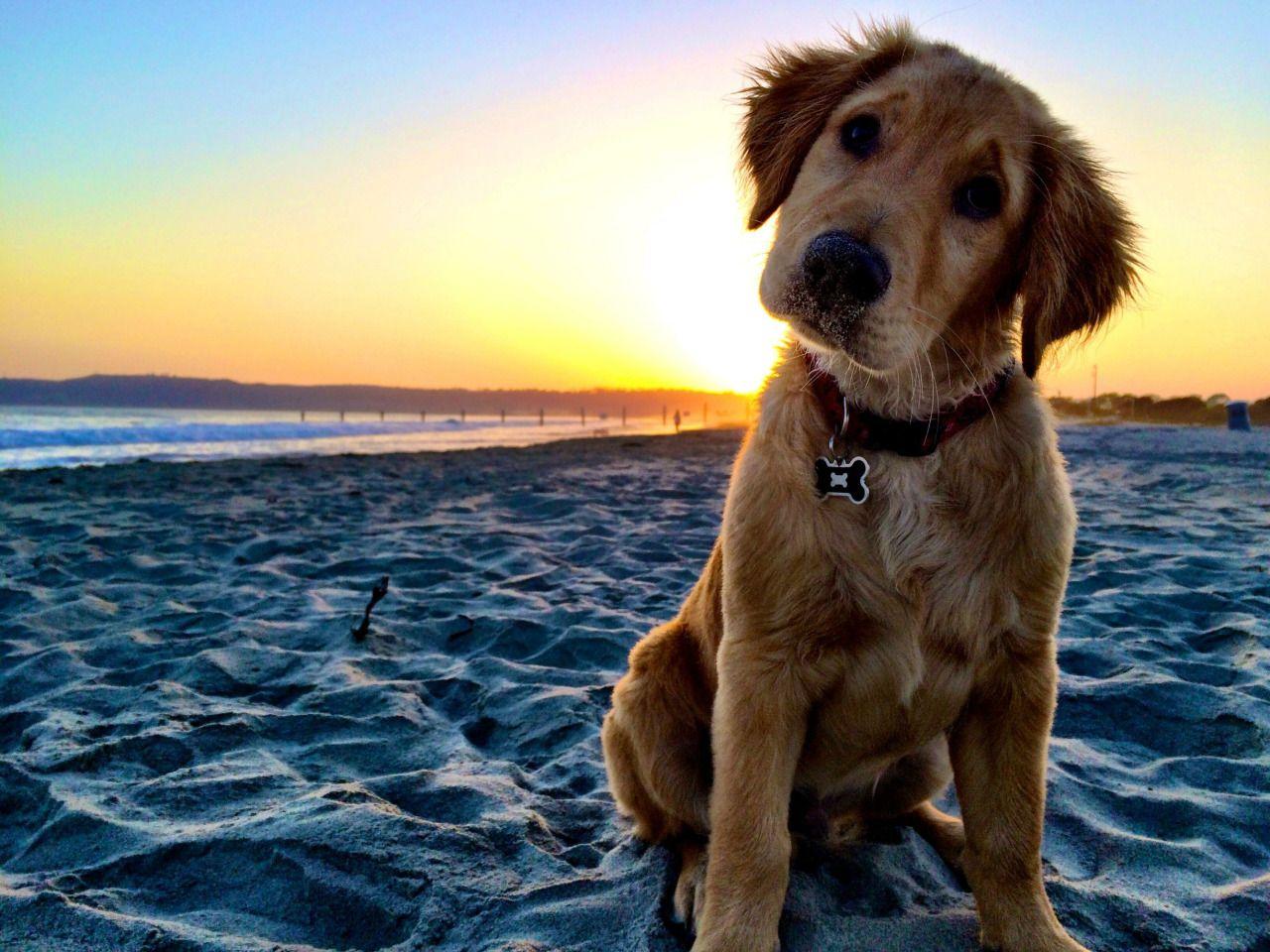 Image by Shutterstock Cute Beige Puppy Labrador Women/'s Tee