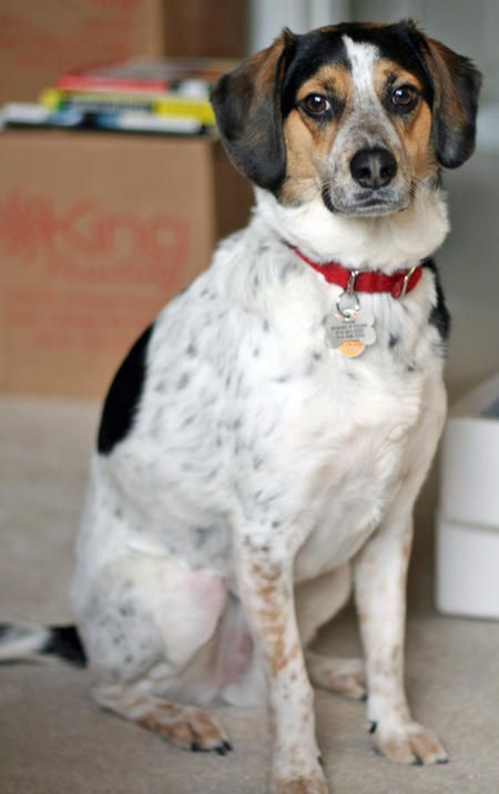 Frank The Beagle Bluetick Coonhound Mix Beagle Mix Cattle