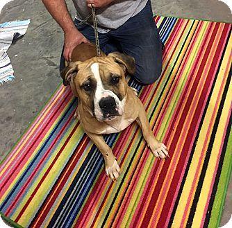 Loogootee In Boxer English Bulldog Mix Meet Maverick A Dog