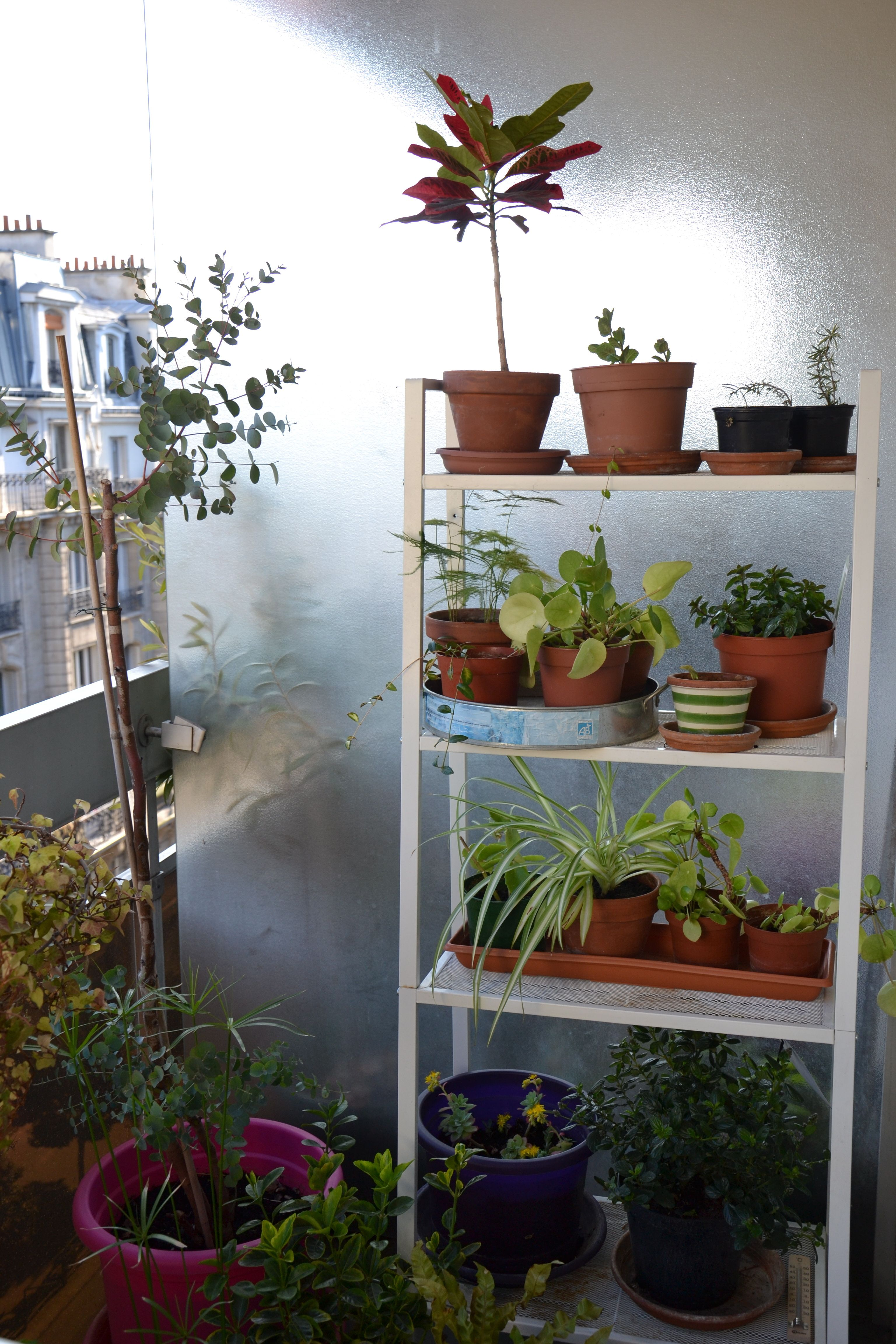 Another view of balcony corner with eucalyptus gunni