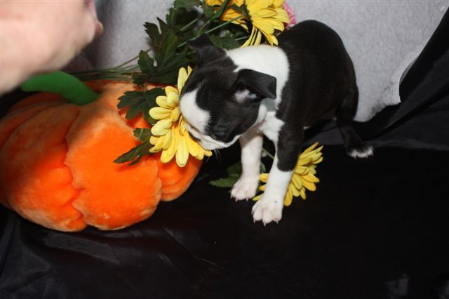 Puppies for sale - Boston Terriers - in Macon, Georgia