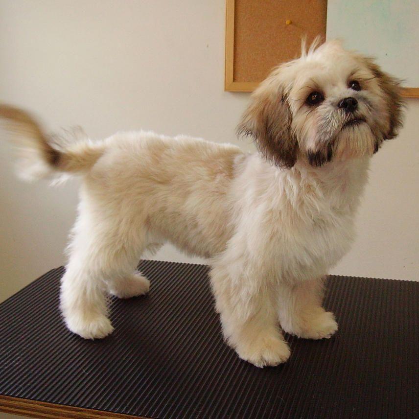 October 2007 113 Jpg 856 X 856 64 In 2020 Shih Tzu Haircuts Shih Tzu Grooming Shih Tzu Puppy