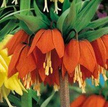 Bulbo Corona Imperiale Arancione