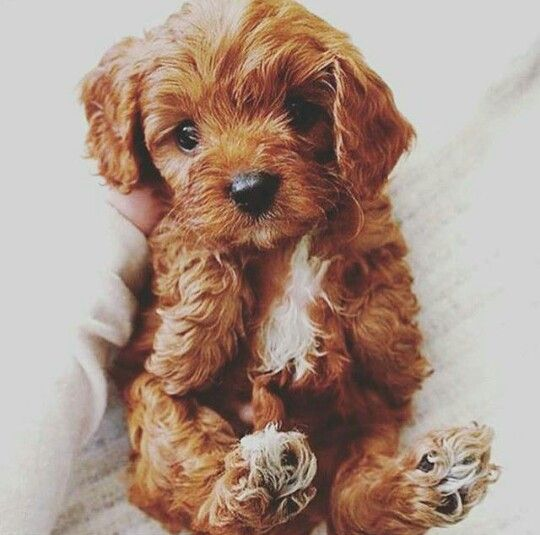 Toy Cavoodle Puppy Cute dogs and puppies, Cute dogs