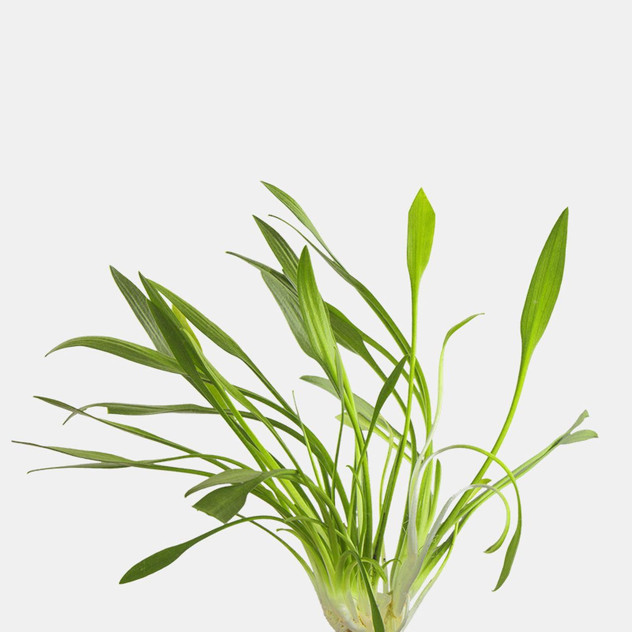 Cryptocoryne Parva - Set of 2 Plants | Plants, Freshwater