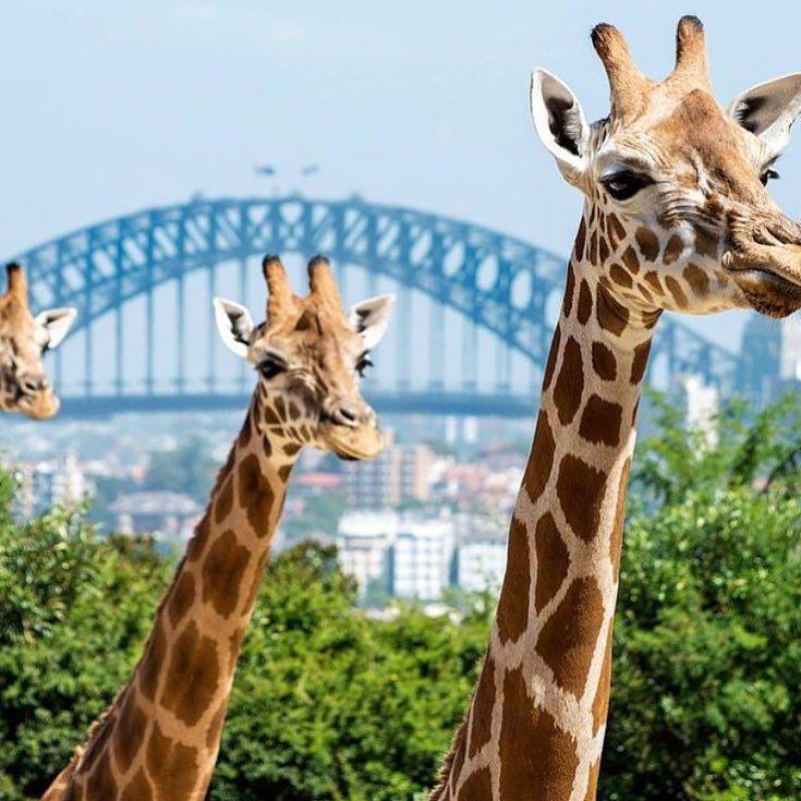 Taronga Zoo Sydney - just 15 minutes from the hotel. Another great family fun activity! @tarongazoo #familyfun #sydneyharbourbridge #sydney #giraffe #animals #schoolhoildays #zoo by northsydneyharbourviewhotel http://ift.tt/1NRMbNv