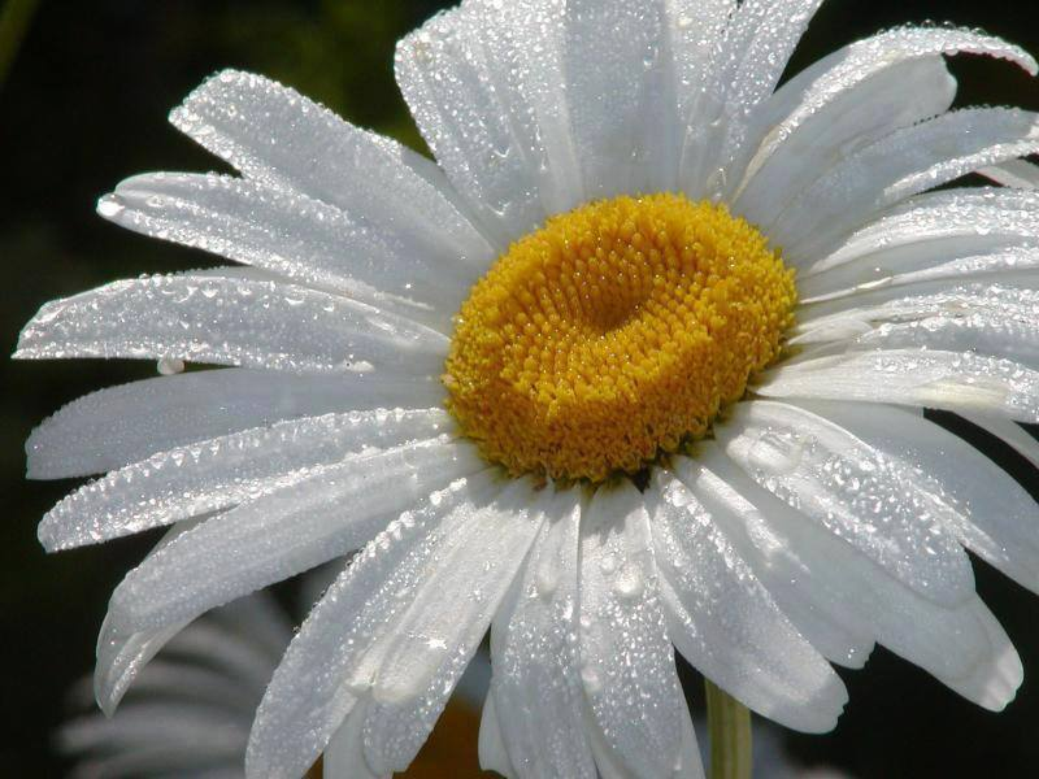 Фото ромашки как символ любви