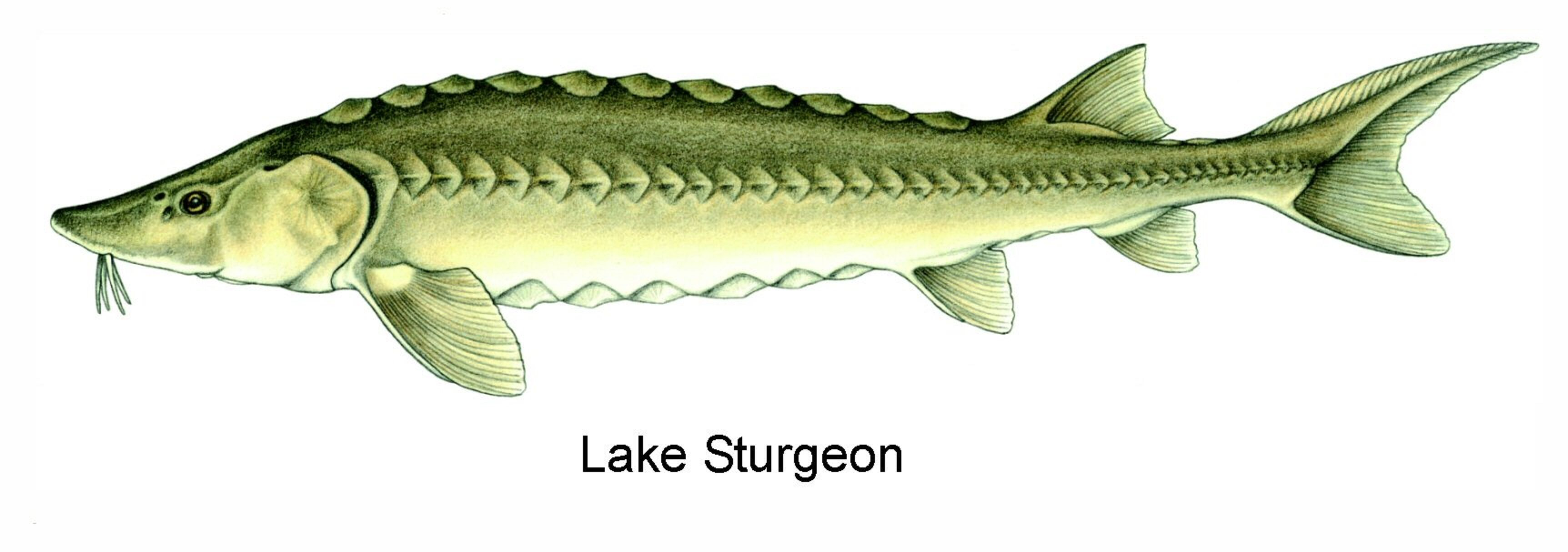 Art Illustration Lakes Freshwater Fish Lake Sturgeon Acipenser Fulvescens Is A Species Of Fish In The Acipenseridae Family Fish Art Lake Sturgeon Fish