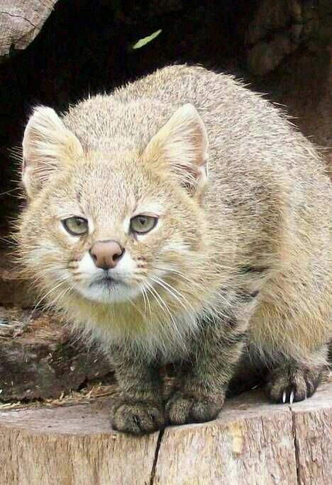 Colocolo Cat