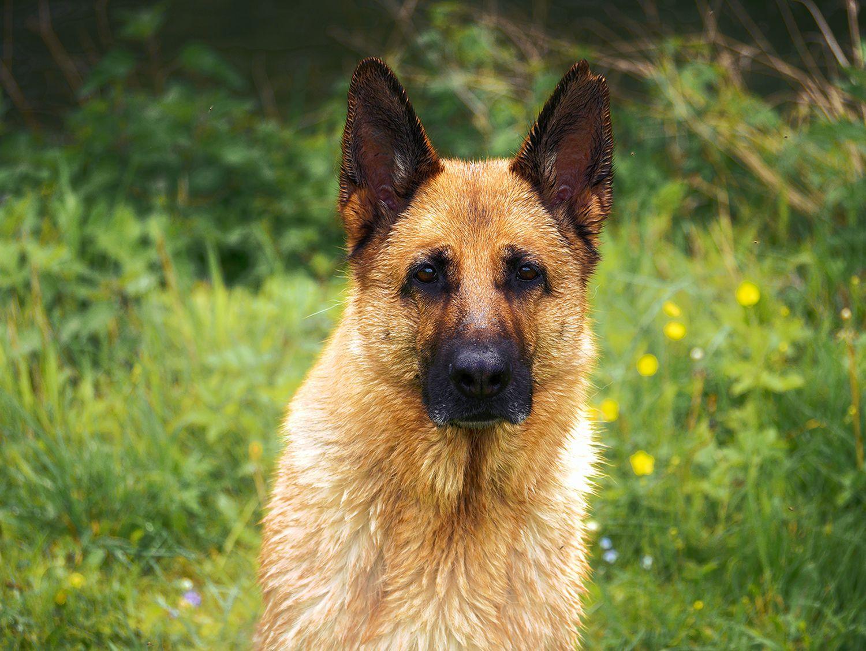 Liebeserklärung an den Deutschen Schäferhund