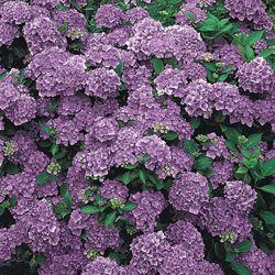 Purple Passion Hydrangea Small Garden Makeover Ideas Garden Flower Beds Hydrangea Purple